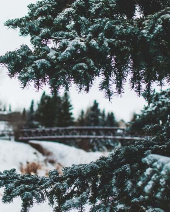 spruce trees in the winter