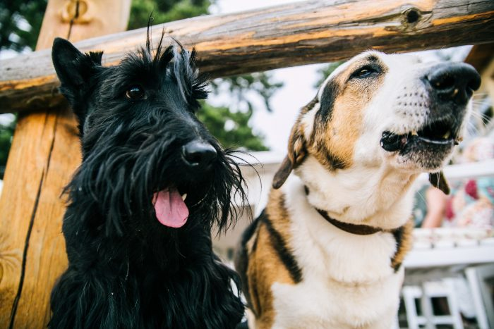 closeup-photo-of-scottish-terrier-and-adult-short-coated-800406